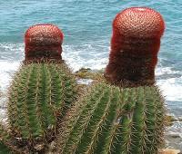 turks-head-cactus